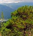 Pinus kesiya Binga.jpg