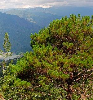Pine - A Khasi pine in Benguet, Philippines