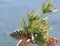 Pinus pungens foliage and cone, Hanging Rock SP.jpg