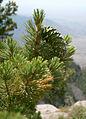 Pinus reflexa cone Sandia Crest.jpg