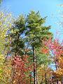 Pinus strobus CherokeeNF.jpg