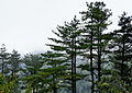 Pinus taiwanensis on east-west highway Taiwan.jpg