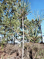 Pinus torreyana young tree.jpg