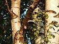 Piptoporus betulinus100.jpg