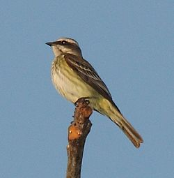 Piratic Flycatcher.jpg