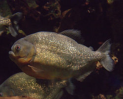 A piranha at the Newport, Kentucky Aquarium
