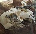 Pituophis catenifer pumilis 4.jpg