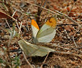 Plain Orange-Tip , Colotis eucharis at Chilkur near Hyderabad, AP W IMG 7341.jpg