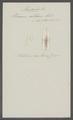 Planaria rutilans - - Print - Iconographia Zoologica - Special Collections University of Amsterdam - UBAINV0274 105 07 0004.tif