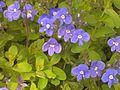 Plante de prés et sous-bois clairs 20150523 162432 - 02.jpg