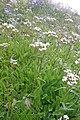 Plants am Rufikopf 24.JPG
