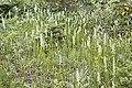 Platanthera dilatata - Flickr 003 (1).jpg