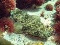 Platycephalus fuscus.jpg