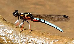 Platycypha caligata.jpg