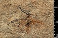Plecia larteti holotype MNHN.F.R06667 direct lighting.jpg