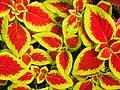 Plectranthus scutellarioides(Lamiaceae).jpg