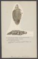 Pleurobranchaea - Print - Iconographia Zoologica - Special Collections University of Amsterdam - UBAINV0274 005 08 0033.tif