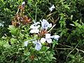 Plumbago auriculata-Anna park-yercaud-salem-India.JPG