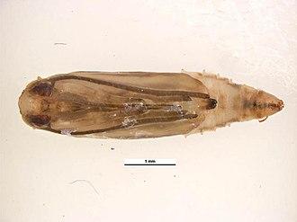 Diamondback moth - Pupa