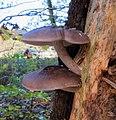 Pluteus cervinus (Gewone hertenzwam). A typical dead wood substrate mushroom - panoramio.jpg