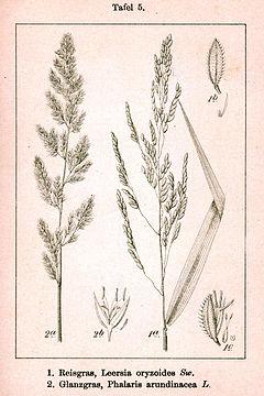 Poaceae spp Sturm5