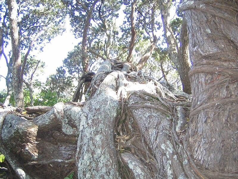 File:Pohutukawa at Te Araroa.jpg