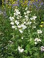 Polemonium caeruleum white.jpg
