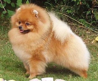 Pomeranian dog Dog breed