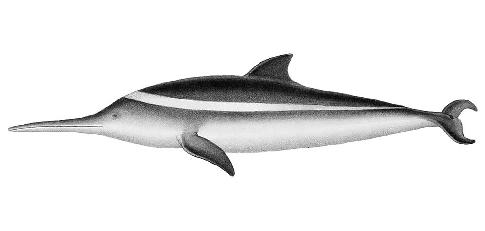 The average litter size of a La Plata dolphin is 1