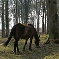 Pony grazing near the edge of Islands Thorns Inclosure, New Forest - geograph.org.uk - 386710.jpg