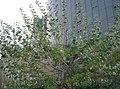 Populus alba2.jpg