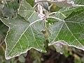 Populus alba (5002312369).jpg