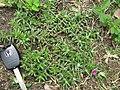 Portulaca pilosa plant2 (17161774210).jpg