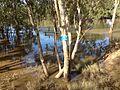 Post the major flooding, Murrumbidgee River still in flood (2).jpg