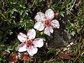 Potentilla-nitida Einzelblüten 3304a.jpg