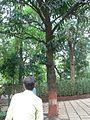 Pouteria campechiana (1095587920).jpg