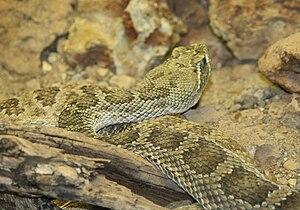 Prairie Rattlesnake (Crotalus viridis) at the ...