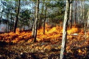 Eastern savannas of the United States - Prescribed fire in Virginia, 1995. Many eastern ridgetops were burned by American Indians.