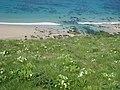 Primroses, sand and sea at Greenbank Cove - geograph.org.uk - 809141.jpg
