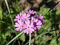 PrimulaFarinosa.jpg