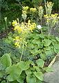 Primula florindae BotGardBln07122011B.jpg
