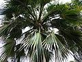 Pritchardia maideniana (5643791941).jpg