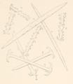 ProcAcadNatSciPhila-1887-Pl-XI-Fig-I.png