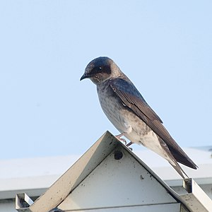 Purple martin - Adult female