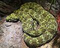 Protobothrops mangshanensis mang pitviper LA zoo top.jpg