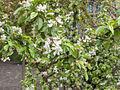 Prunus.avium(01).jpg