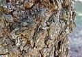 Prunus Subhirtella 'Pendula Plena Rosea' (47-284-B) Trunk Bark Closeup.JPG