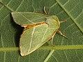 Pseudoips prasinana - Green silver-lines - Челночница зелёная (41135914581).jpg