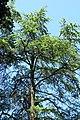 Pseudolarix amabilis Modrzewnik chiński 2011-06-23 02.jpg