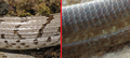 Pseudopus apodus scales juvenile - adult.png